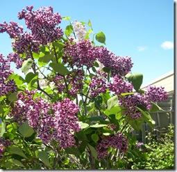 lilacs, June 2011