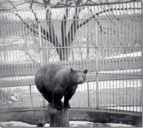 brown bear, 1955 - pictures-r-1156[1]