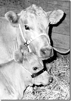 Beef cattle, 1980s, Ont. Archives  I0004457[1]